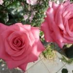 美しすぎる薔薇の前庭!