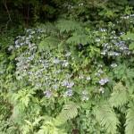 ガクアジサイのような花を里山で見つけた