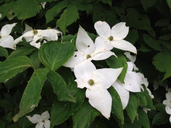 野生のヤマボウシの花