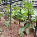 家庭菜園のナスがうまく育たない(肥料不足?)