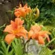 ヤブカンゾウの花が咲いた