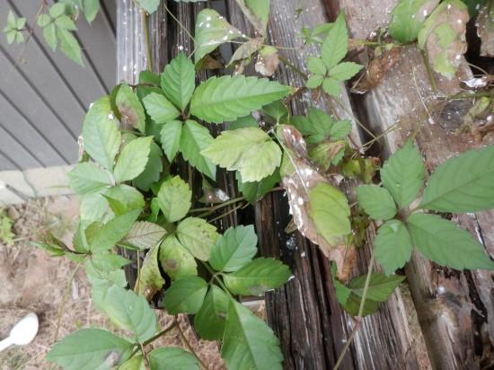 ヤブガラシを除草剤で駆除