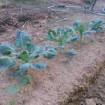 秋野菜の生育状況